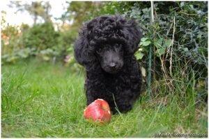 Kudlaty-Klebuszek-szczenieta-Dolly-pudle-czarne-2015-11
