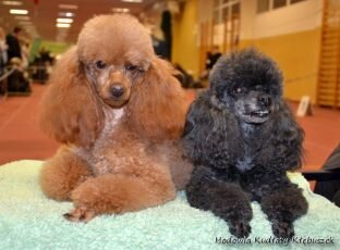Odette i Dolly Kudłaty Kłębuszek