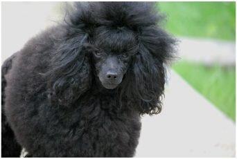 Dolly Kudłaty Kłębuszek Pudel czarny